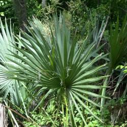 Mandalay-palmetto