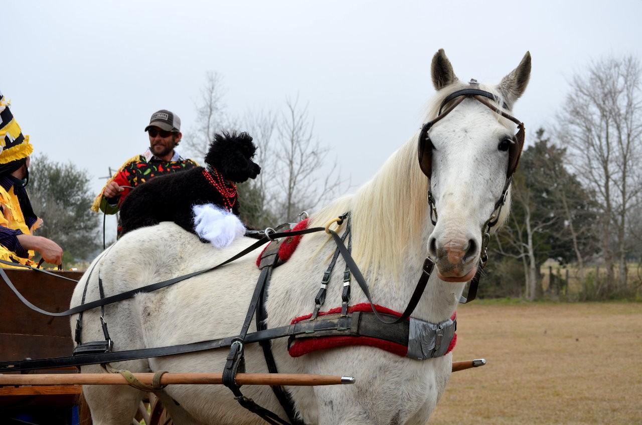 Black poodle on white horse.  Priceless!