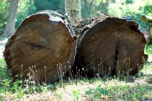 Sinker Cypress Logs