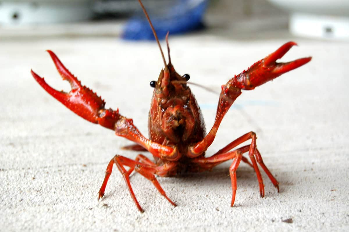 crawfish standing