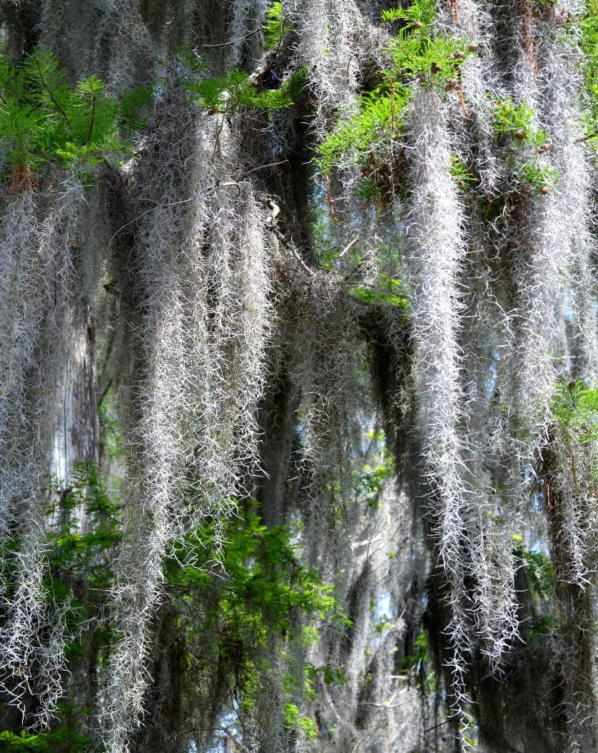 Spanish Moss Hanging from Cypress Tree