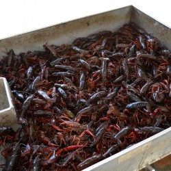 Crawfish-table