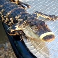 Alligator-return-2
