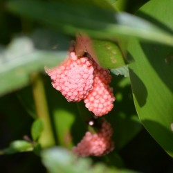 apple-snail-eggs