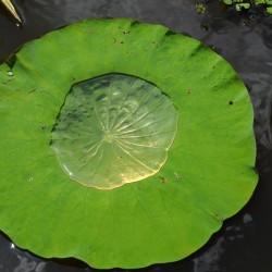 Lotus-leaf-water-pool-2
