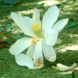 lotus-flower-open