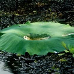 rain-pool-lotus-leaf