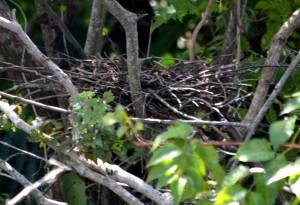 green-heron-nest