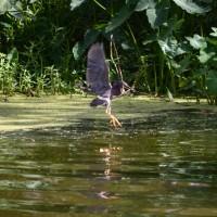 green-heron-taking-bait