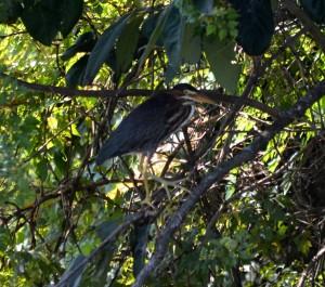 green-heron
