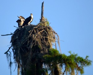 osprey-siblings