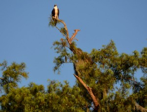 osprey.parent