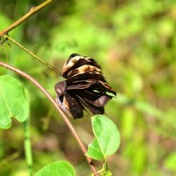 bundleflowers