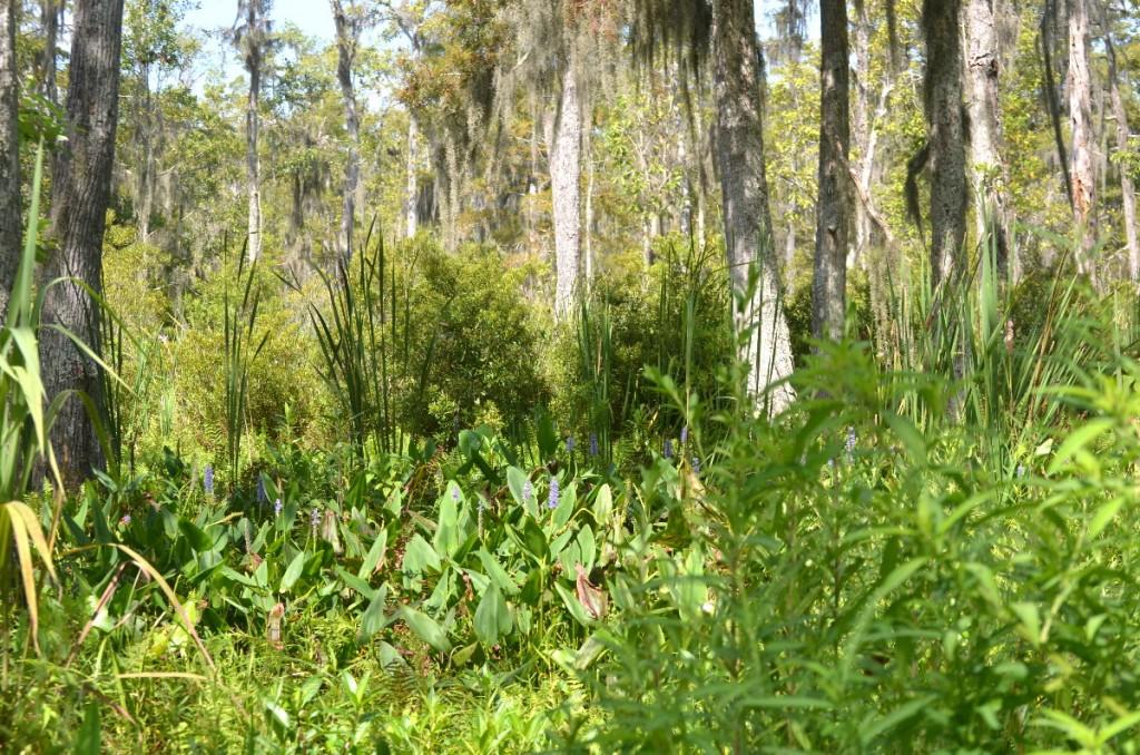 tupelo-cypress-swamp