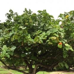 mystery-tree