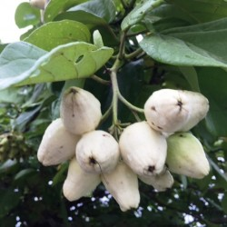 mystery-tree-fruit