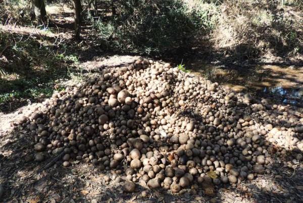 air-potatoes