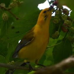 Prothon-Mulberry
