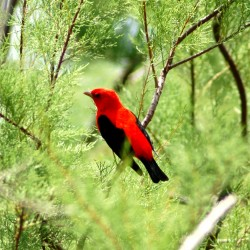 Scarlet-Tanager-044a