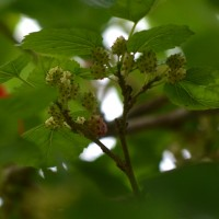white-mulberry